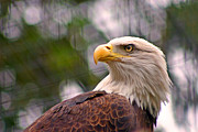 Eagle-eye Metal Prints - Bald Eagle Majestic Metal Print by David Rucker