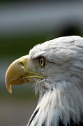 D5000 Prints - Bald Eagle Print by Matt Steffen