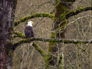 Bird In Tree Posters - Bald Eagle on Mossy Branch Poster by Sharon  Talson