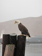 Trawling Boats Framed Prints - Bald eagle on piling Framed Print by Dean Gribble