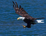 Preditor Metal Prints - Bald Eagle on the Hunt Metal Print by Beth Sargent