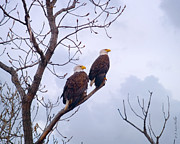 Masked Digital Art Prints - Bald Eagle Pair Looking At Storm Coming Print by J Larry Walker