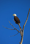American Photo Originals - Bald Eagle Profile by Mike  Dawson
