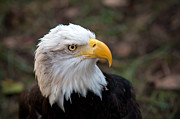 Eagle-eye Metal Prints - Bald Eagle Metal Print by Rich Leighton