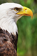 Authority Photos - Bald eagle by Sami Sarkis