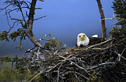 Alaska Wildlife Photos - Bald Eagle Sits On Its Nest In Alaska by Michael S. Quinton