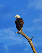 Wildlife Digital Art Prints - Bald Eagle Sitting High Print by J Larry Walker