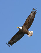 Birds - Bald Eagle Soaring over Pohick Bay DRB139 by Gerry Gantt