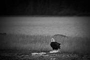 Darcy Michaelchuk - Bald Eagle Take Off Series 1 of 8