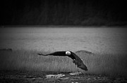 Darcy Michaelchuk - Bald Eagle Take Off Series 4 of 8