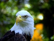 Eagle Art - Bald Eagle by Terri Mills