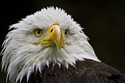 Eagle Photos - Bald Eagle The American Icon - 2 by Heiko Koehrer-Wagner
