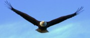 Rare Bird Of Canada Art - Bald Eagle Victory by Dean Edwards