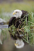 Eagle Framed Prints - Bald Eagle With Reflection At The Edge Framed Print by Tim Fitzharris