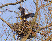 Bald Eagles Nest Print by J Larry Walker