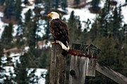 Eagles Posters - Baldy on a Post Poster by Don Mann