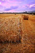 Corn Stalks Posters - Bales Of Hay At Sunrise Poster by HD Connelly