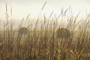 Field Of Crops Prints - Bales Of Hay In A Field In The Fog Print by Susan Dykstra
