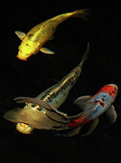 Carp Digital Art - Ballet by Mark Holbrook