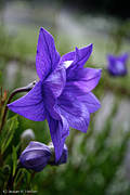 Balloon Flower Posters - Balloon Flower Profile Poster by Susan Herber