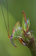 Katydid Art - Balloonwinged Katydid Male Nymph by Piotr Naskrecki