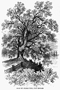 Balm Prints - Balm Of Gilead Tree Print by Granger