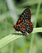 Checkerspot Art - Baltimore Checkerspot butterfly with wings folded by Doris Potter