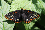 Checkerspot Posters - Baltimore Checkerspot butterfly with wings spread Poster by Doris Potter