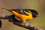 Baltimore Oriole Framed Prints - Baltimore Oriole Framed Print by Bruce J Robinson