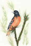 Oriole Originals - Baltimore Oriole by Elise Boam