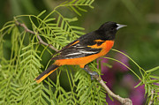 Baltimore Oriole Framed Prints - Baltimore Oriole Icterus Galbula Male Framed Print by Tom Vezo