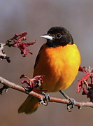 Black Bird Prints - Baltimore Oriole II Print by Bruce J Robinson