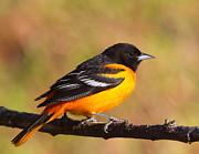 Songbirds Prints - Baltimore Oriole III Print by Bruce J Robinson