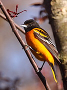 Baltimore Orioles Prints - Baltimore Oriole IV Print by Bruce J Robinson