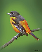 Baltimore Oriole Framed Prints - Baltimore Oriole Framed Print by Larry Linton