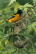 Orioles Framed Prints - Baltimore Oriole Nesting In Wild Framed Print by George Grall