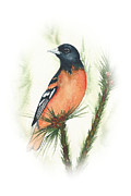 Oriole Originals - Baltimore Oriole Vignette by Elise Boam