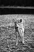Kids Room Posters - Bambi in Black and White Poster by Sebastian Musial