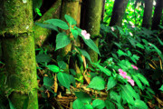 Impatiens Posters - Bamboo and Impatiens El Yunque National Forest Poster by Thomas R Fletcher