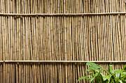 Bamboo Fence Print by Don Mason