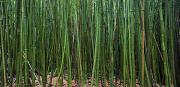 Thin Photo Posters - Bamboo Forest 3 Poster by Monica & Michael Sweet - Printscapes