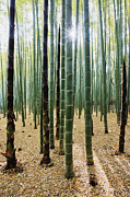 Bamboo Forest Print by Jeremy Woodhouse
