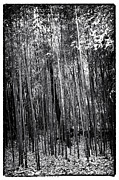 Fall Photos Framed Prints - Bamboo Forest Framed Print by John Rizzuto