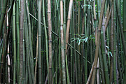 Bamboo Forest Framed Prints - Bamboo Forest Framed Print by Pierre Leclerc