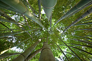 Bamboo Forest Print by Tom Clabough