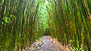 Bamboo Photo Posters - Bamboo Forest Trail Hana Maui 2 Poster by Dustin K Ryan