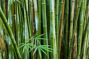 Asia Photo Metal Prints - Bamboo  Metal Print by Les Cunliffe
