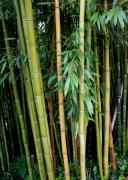 Bamboo Forest Framed Prints - Bamboo Framed Print by Marion McCristall