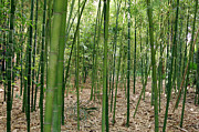 Monocots Photos - Bamboo (phyllostachys Sp.) by Johnny Greig
