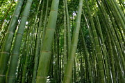 Sami Sarkis Photo Metal Prints - Bamboo plantation Metal Print by Sami Sarkis